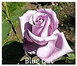 10 Blue Girl Hybrid Tea Rose Seeds