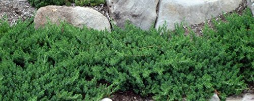 Juniper Blue Pacific Qty 60 Live Plants Evergreen Ground Cover 'Shore Juniper' by Florida Foliage (Image #9)
