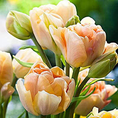 scgtpapadc 100Pcs Variety Tulip Seeds Beautiful Flower Floral Home Garden Plant Decoration - 3pcs Yellow & Red Tulip Bulbs, Plant Seeds Flower Seeds : Garden & Outdoor