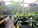 "30 - 36"" Inga Feuillei FL Ice Cream Bean Tropical Fruit Tree Plant Pacay"