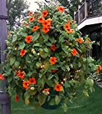 Scroll Trellis The Basket Booster to grow a flower globe with solar lights to add to 2 of your hanging baskets to support vines and/or string lights (2, Green with Lights)