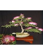 Albizia Julibrissin Mimosa Bonsai Persian Pink Silk Tree 10 seeds Rare