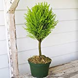 Cupressus macrocarpa, Lemon Cypress Topiary Standard for Miniature Garden, Fairy Garden