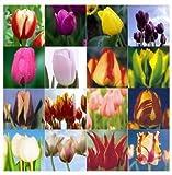 Generic Tulip Bonsai Suitable , Not Tulip Bulbs, Hydroponic Bonsai Suitable Flower Tulip Seeds - 50 Pcs