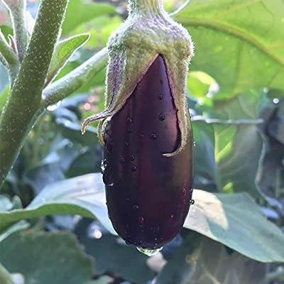 Long Purple Eggplant Garden Seeds - Non-GMO, Heirloom, Organic Vegetable Gardening Seed - Egg Plant