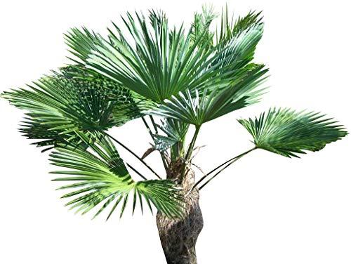 (WINDMILL PALM Trachycarpus fortunii cold hardy 50 seeds)