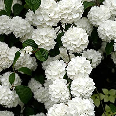 Snowball Viburnum Starter Hedge Kit, Live Bareroot Shrubs, 12 to 18 inches Tall (10-Pack) - Just $9.00 per Plant Delivered! : Garden & Outdoor