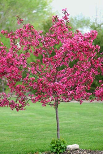Red Flowering Trees - Details About 2 RED Flowering Dogwood Trees 12-16 INCH Landscape FLOWRING Ornamental Trees