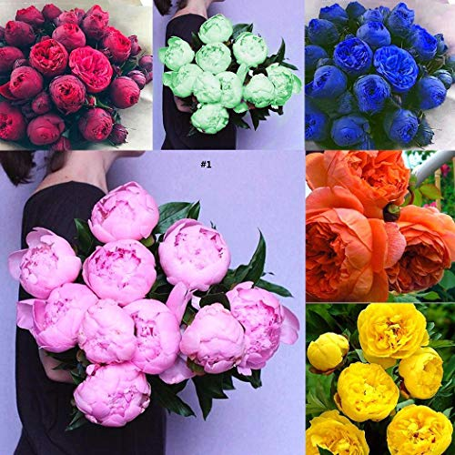 (Caiuet Seed house - 10 Pieces Peony Flower Seeds Scented Shrubs Peony Seeds Spring Plants Perennial Hardy for Garden Balcony/Patio)