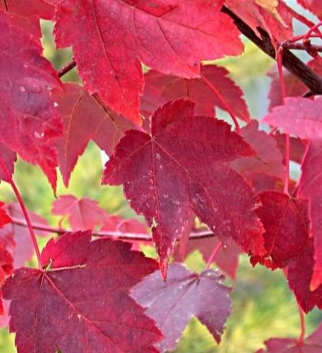 (Burgundy Belle Maple Tree - Acer rubrum - Established 2 Gallon Pot - 1 Plant)