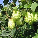 Beer Hops Bush Seeds (Humulus lupulus) 50+Seeds