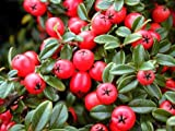 """'Coral Beauty' Cotoneaster - Cotoneaster dammeri - 4"""" Pot"""