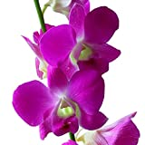 Dendrobium Orchids Pink in Bulk
