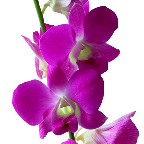 Dendrobium Orchids Pink in Bulk by BloomsyBox