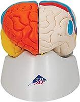 3B Scientific C22 Cerebro Neuro Anatómico