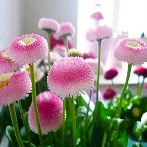30 pcs Bonsai flower Daisy seeds hardy plants flower exotic ornamental seeds