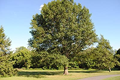 Southern Red Oak Tree Quercus falcata Heavy Established Roots 1 Trade Gallon Pot - 1 plant by Growers Solution