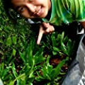 Caiuet 100pcs Culantro Seeds Long Coriander Thai Parsley Seeds Recao Long Coriander Mexican Coriander NGO GAI