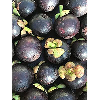 Purple Mangosteen Garcinia Mangostana Florida Tropical King Fruit Pot Tree Plant : Garden & Outdoor