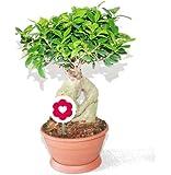 Ficus ginseng - 20cm pot