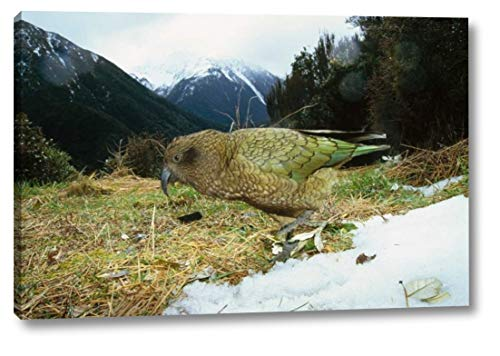 Kea Parrot in Alpine Scrub, Arthurs Pass National Park, New Zealand by Tui De Roy - 15