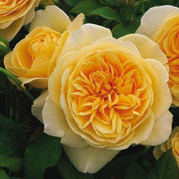 David Austin English Roses Teasing Georgia