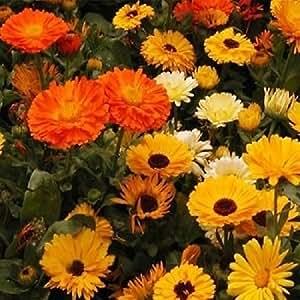 250 Seeds Calendula Mix ( Calendula Officinalis ) Pot Marigold Flower Seeds