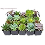Succulent Plants (5 Pack), Fully Rooted in Planter Pots with Soil - Real Live Potted Succulents / Unique Indoor Cactus Decor by Plants for Pets 20 HAND SELECTED: Every pack of succulents we send is hand-picked. You will receive a unique collection of species that are FULLY ROOTED IN 2 INCH POTS, which will be similar to the product photos (see photo 2 for scale). Note that we rotate our nursery stock often, so the exact species we send changes every week. THE EASIEST HOUSE PLANTS: More appealing than artificial plastic or fake faux plants, and care is a cinch. If you think you can't keep houseplants alive, you're wrong; our succulents don't require fertilizer and can be planted in a decorative pot of your choice within seconds. DIY HOME DECOR: The possibilities are only limited by your imagination; display them in a plant holder, a wall mount, a geometric glass vase, or even in a live wreath. Because of their amazingly low care requirements, they can even make the perfect desk centerpiece for your office.