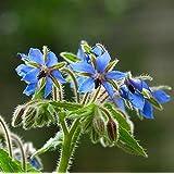 BORRAGINE 25 SEMI Borago officinalis pansotti genovesi, frisceu erba aromatica