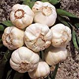 GARLIC BULB (5 Pack), FRESH CALIFORNIA SOFTNECK GARLIC BULB FOR PLANTING AND GROWING YOUR OWN GARLIC OR GREAT FOR EATING AND COOKING