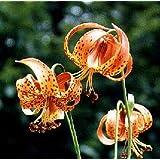 Lilium (Lily) superbum Turks Cap 100 seeds