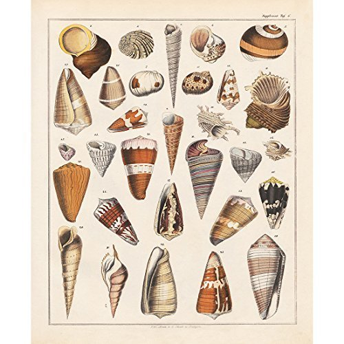 Vintage Poster Print Art Seashell Conch Whelk Sea Snail Shell Shellfish Collection Identification Reference Chart Wall Decor Picture