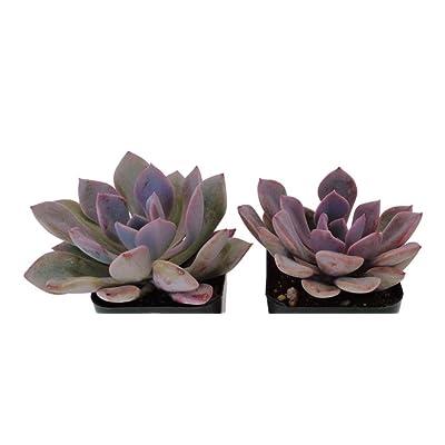 "2 Pcs Plants 2"" Pots Beautiful Graptoveria Debbie Succulents Plant - CSR292 : Garden & Outdoor"