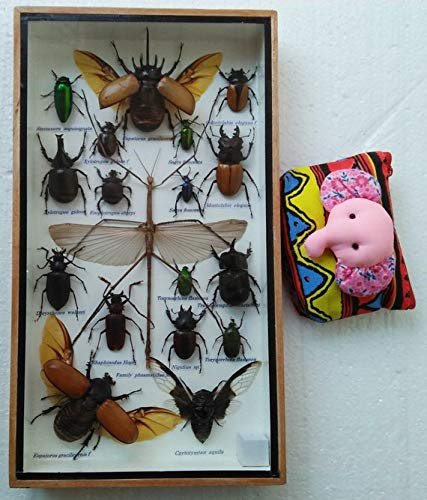 Real Rare Big Set Stick Insect Insects Box Display Taxidermy Framed Jewel Beetle Spider Cicada Xylotrures Collectible Entomology Home Decoration Gift Handmade Bug Bugs Glass Wood Wooden Grasshopper ()