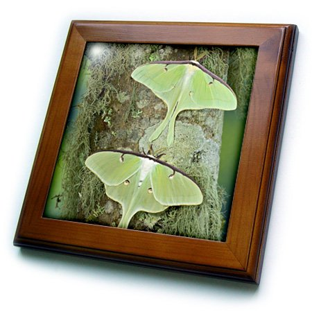 - 3dRose ft_95527_1 North American Luna Silk Moth, Insects-US48 DGU0708-Darrell Gulin-Framed Tile, 8 by 8-Inch