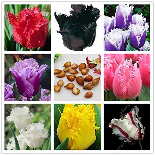 Portal Cool 3: 2 bulbos de tulipán verdaderos Bulbos de flor del tulipán, Tulipán (No Seeds), Flor Uk Bulbos Symboliz