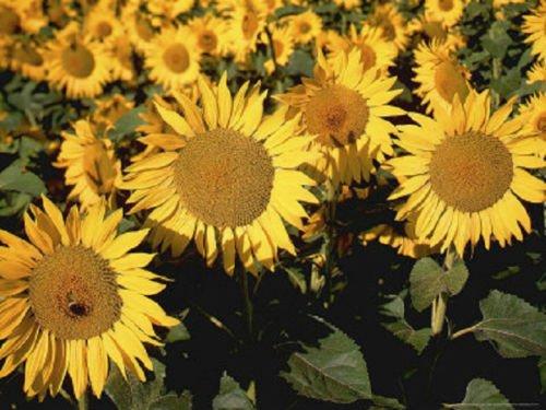 300 Sunspot Sunflower Seeds FLOWER - Sunspot.com