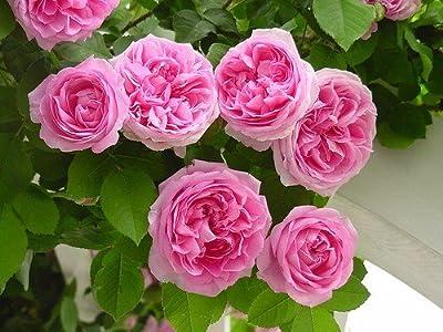 Climbing Rose Seeds Climber Pink Perennials Flower 5 rose Double blooming seeds