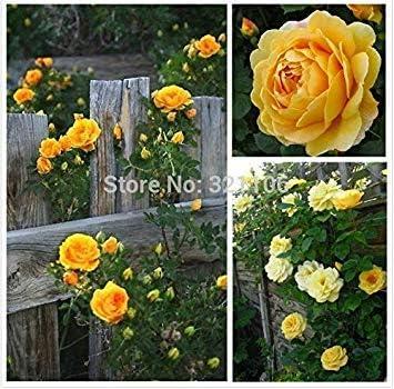 Potseed Germinación Las Semillas: 20 Semillas Amarillas Rosales trepadores Semillas Hermosa casa, Bricolaje, fragante Flor: Amazon.es: Jardín