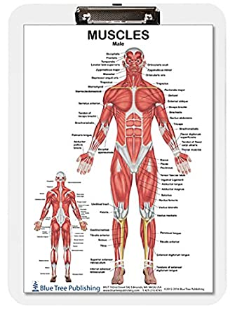 Muscle Anatomy Female And Male Dry Erase Clipboard Two Sided