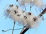 LAMINATED 32x24 inches Poster: Clematis Vitalba Pods Soft Fluffy Seeds Liane Fruits White Woolly Clematis Real Clematis Common Clematis Lueln Luen Lian Ulischwidn Waschl Liasch Niele Hairy Stamp
