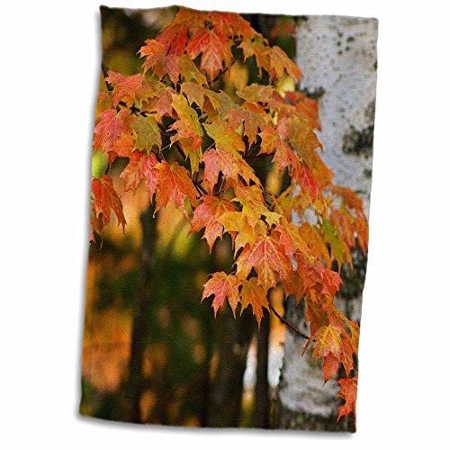 3drose-danita-delimont-leaves-michigan-upper-peninsula-bewabic-sp-maple-tree-turning-colors-12x18-to