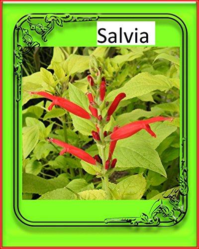 (Salvia Flowers 2018 The Magic of Nature)