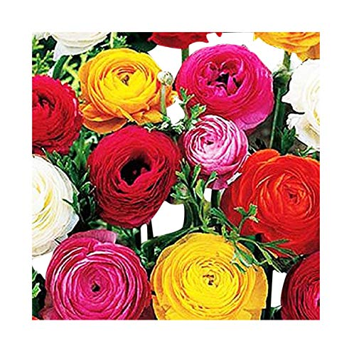 French Peony Mixed Ranunculus - 12 Largest Size -