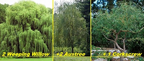 5 Willow Trees- Ready to Plant - 2 Weeping Willow Trees + 2 Austree Hybrid Willow Trees + 1 Corkscrew Willow Tree - Indoor Outdoor Live Trees - Bonsai Starts (Tree Bonsai Outdoor Seeds)