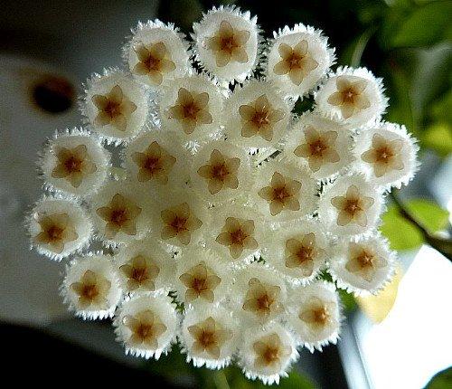 Cinnamon Scented Wax Hoya lacunosa - Porcelain Flower -Great House Plant-6