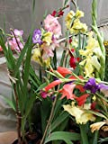 Kraft Seeds Gladiolus Flower Bulb Mix  (Pack of 10)