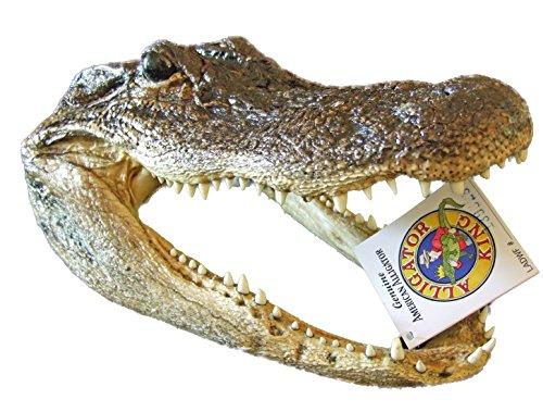Genuine Alligator Head 9-10 Swamp People Gator New Orleans ()