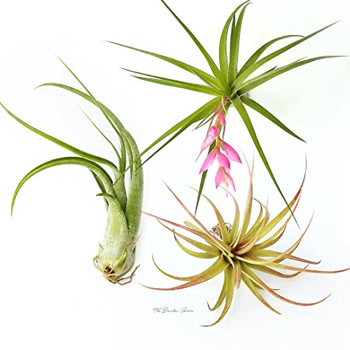 TDG The Drunken Gnome Tillandsia Air Plants Assorted Variety Pack, 3 Large (Air Taking Care Of Plants)