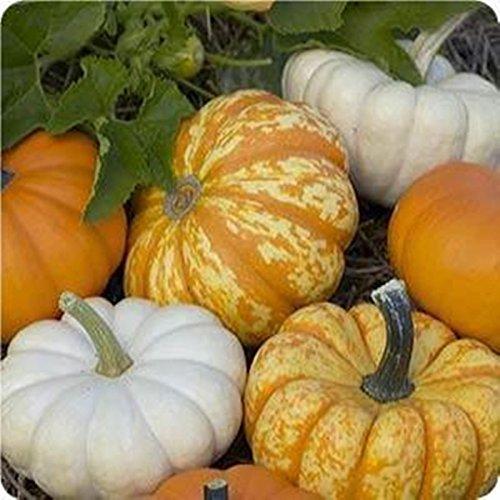 Top Harvest Blend Pumpkin Mix 15 Seeds 3 Little Cuties Hooligan, Gooligan & Bumpkin for cheap